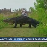 Massive gator spotted at Circle B Bar Reserve in Polk County