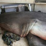 Great white shark leaps into fisherman\'s boat