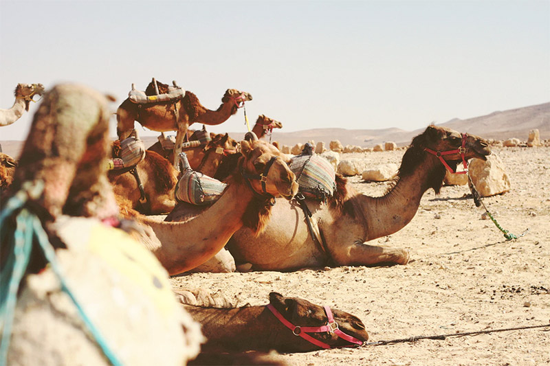 Camels everywhere you go