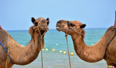 This Camel Has a Twin Brother. We're Not Kidding!
